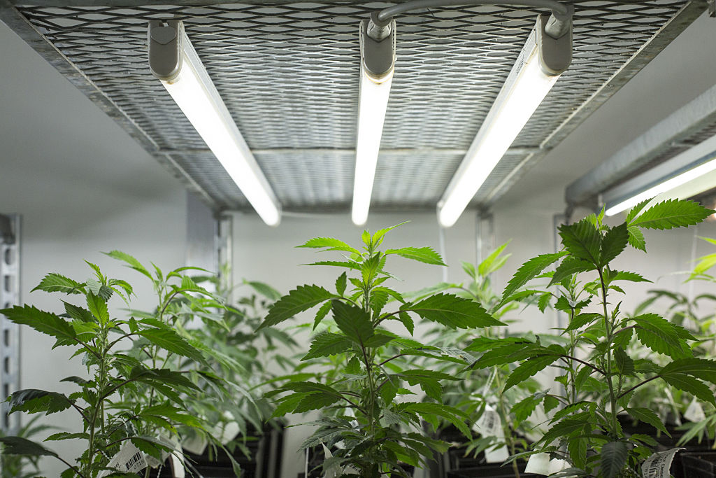 GettyImages 631899476 How to grow the most amount of weed with just one plant
