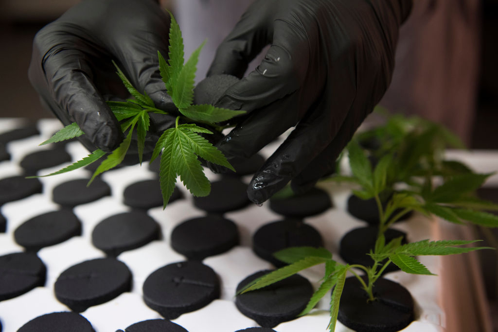 GettyImages 824729272 How to grow the most amount of weed with just one plant