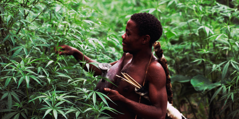 Marijuana is a new cash crop in the Democratic Republic of Congo 3 of 3 800x400 Marijuana is a new cash crop in the Democratic Republic of Congo